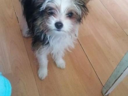 Urocza sunia Biewer Yorkshire Terrier szuka kochającego domku   Yorki cała Polska