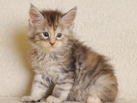 Śliczna koteczka Pixie Black Aster*PL