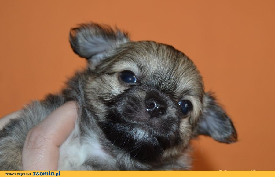 Chihuahua chłopak DŁUGOWŁOSY z rodowodem maleńki i śliczny