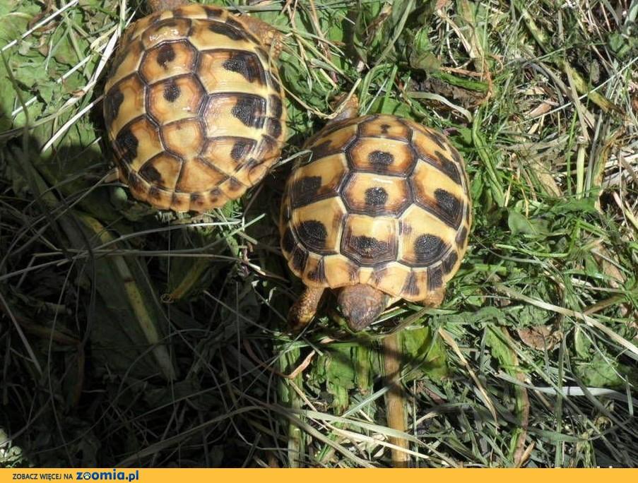 żółw,żółwie greckie lądowe