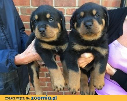 Szczenięta Rottweiler dla mężczyzn i kobiet