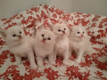 Ragdolle (bardzo miziaste i rezolutne) kocięta z hodowli Koty Na Medal