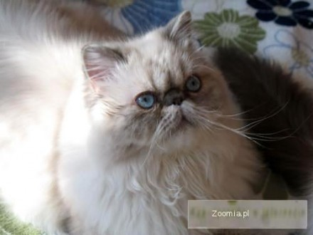 Kot Himalajski Ogłoszenia Z Hodowli Koty Himalajskie Zoomiapl Pl 1
