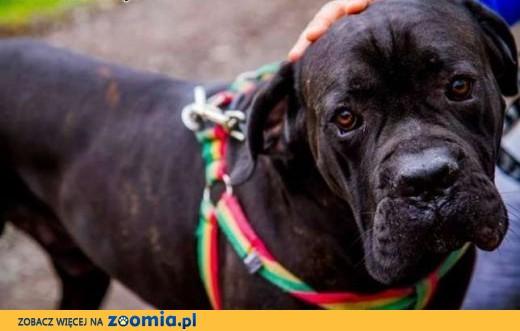 Tylko na zewnątrz Ogłoszenia: oddam psa, oddam szczeniaka Cane Corso pl 1 FA24
