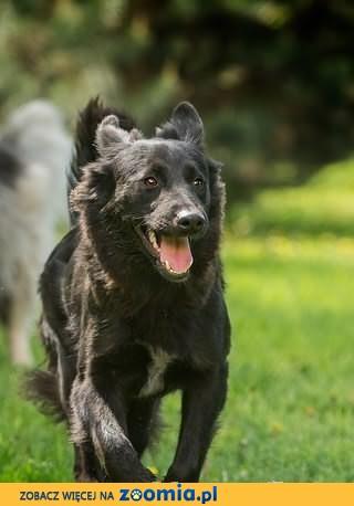 Śliczna młodziutka Negra w typie owczarka belgijskiego szuka domu