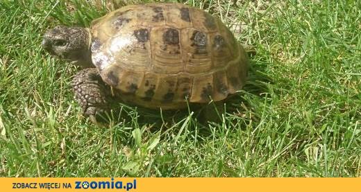 Żółw stepowy 5-letni,zdrowy,pięknie ubarwiony.Terrarium z wyposażeniem. Cena do negocjacji,  dolnośląskie Wrocław