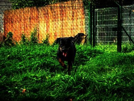 Renia – kochana  młoda rottweilerka do adopcji