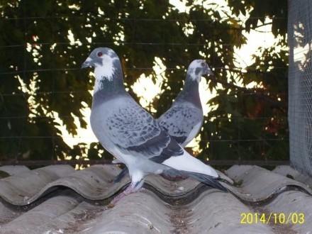 Gołębie pocztowe rozpłodowe