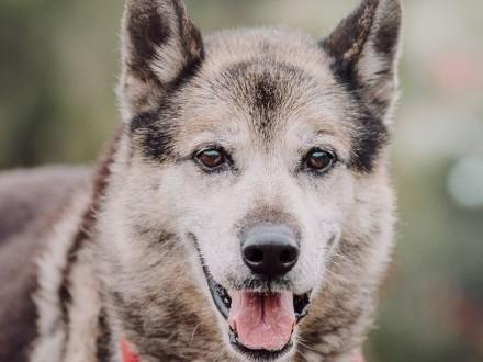 GIENEK 9 letni duży pies w typie pierwotnym