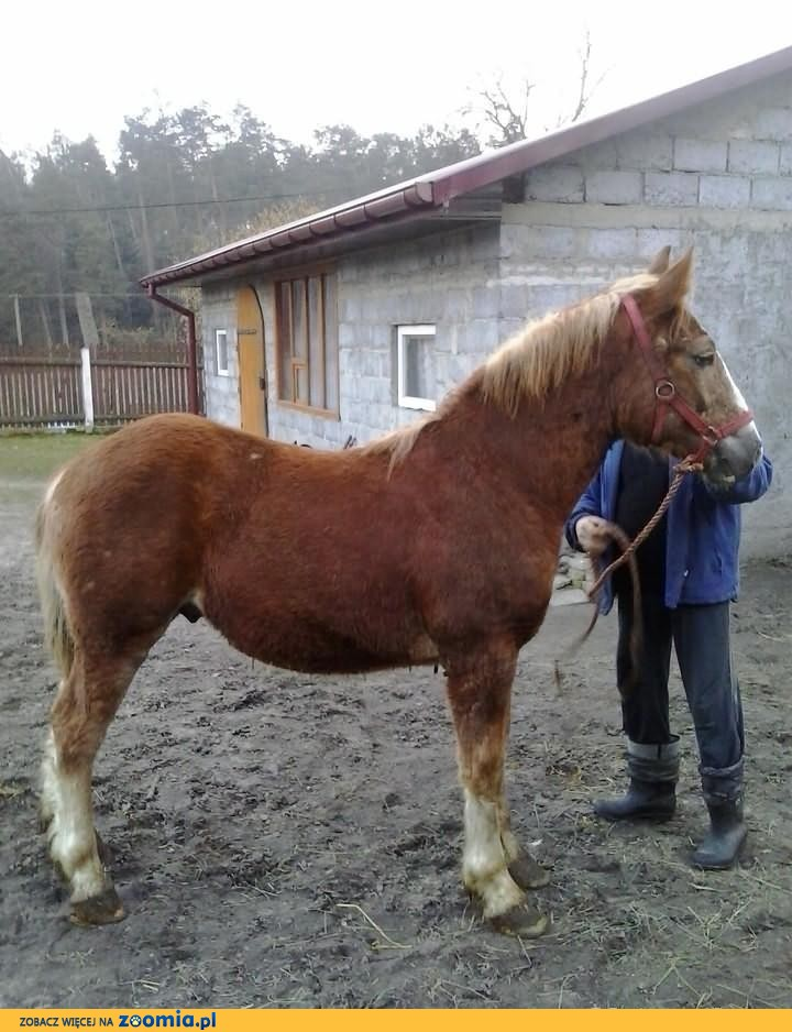 Ogierek polski koń zimnokrfisty
