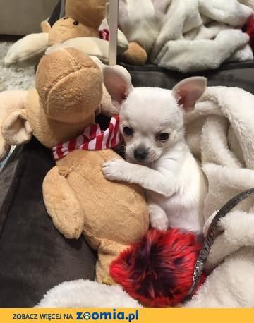 Biały książę- mały piesek Chihuahua z metryką