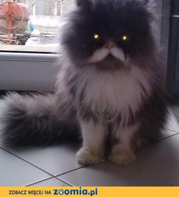 Kot Perski Pers Ogłoszenia Z Hodowli Koty Perskie Zoomiapl Pl 1