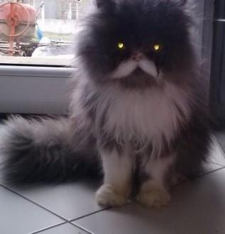 Kot perski niebieski   kujawsko-pomorskie Włocławek