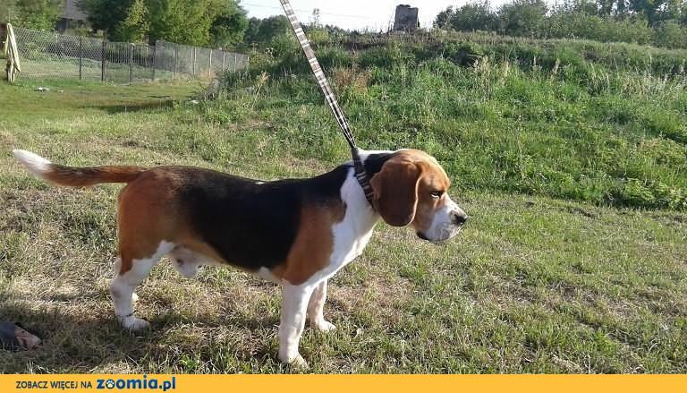 Beagle trikolor
