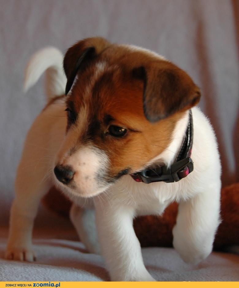 Jack Russell Terrier Warszawa