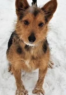 OLAF - kochany  niewielki psiak w typie teriera szuka domu!
