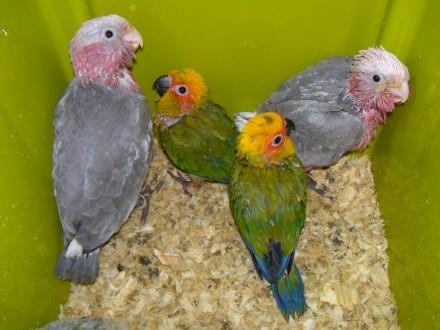 Papugi oswojone