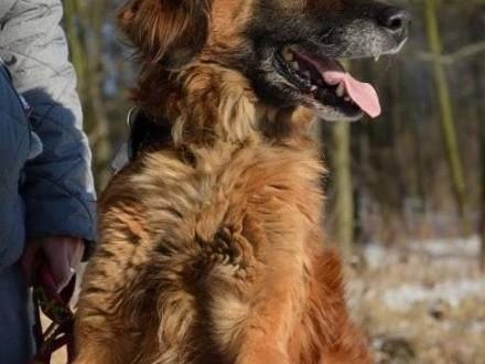 Pongo – piękny  rudy i…samotny_ Piękność do adopcji!
