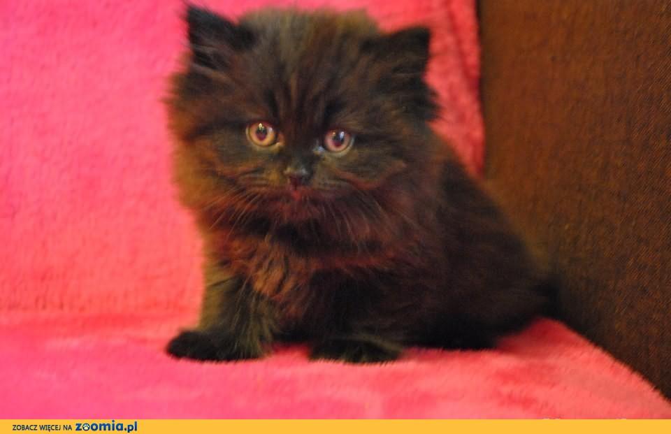 Koty brytyjskie. Kocięta brytyjskie krótko i długowłose