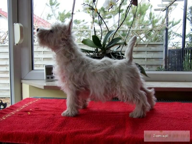 WEST HIGHLAND WHITE TERRIER - po Championach
