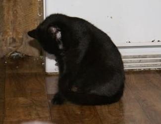 7 miesięczne  czarne kociaki szukają domów