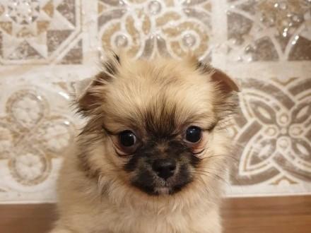 Chihuahua szczenię piesek-samiec długowłosy rodowód ZKwP FCI