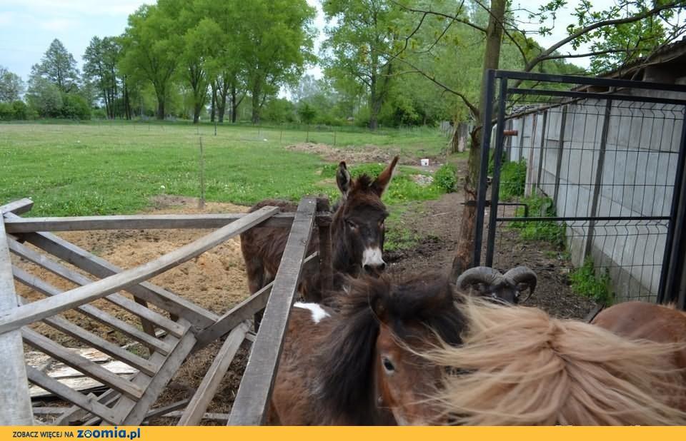 Sprzedam muflona (samiec) mino ZOO