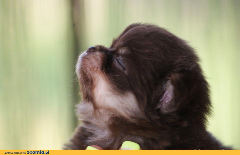 Chihuahua czekoladowy mini maleńki piesek 0,440 gr