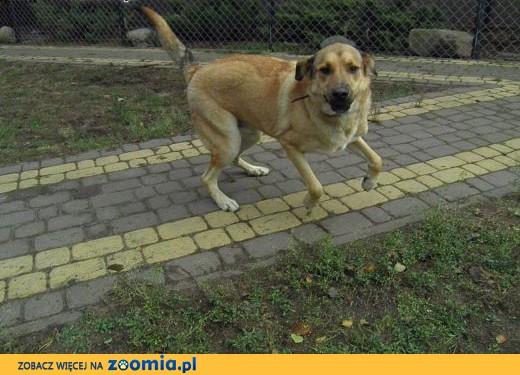 Maciek duży i energiczny , młody pies,  łódzkie Tomaszów Mazowiecki