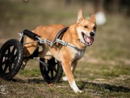 TOFFIK - pokochaj super psa  co na wózku pomyka!   śląskie Gliwice