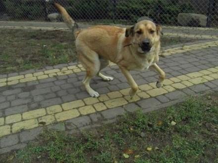 Maciek duży i energiczny   młody pies   łódzkie Tomaszów Mazowiecki