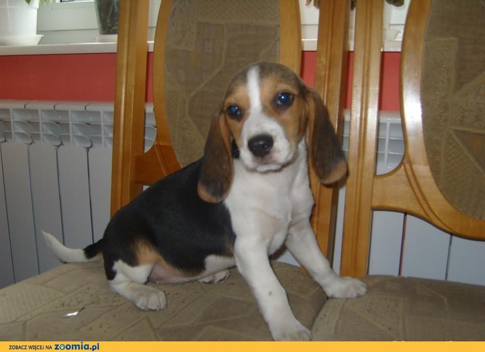 Beagle-suczka