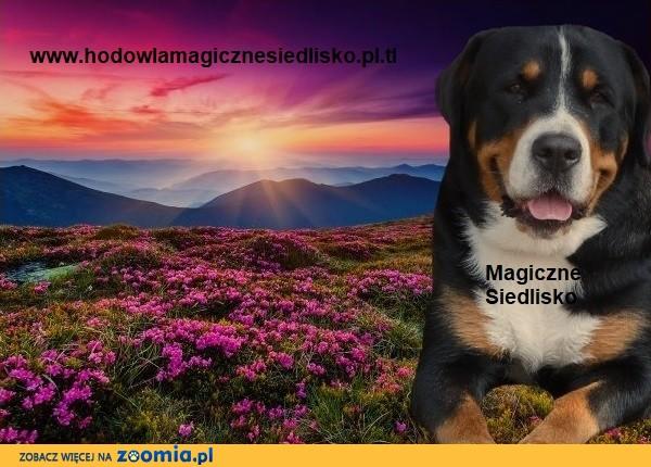 Duży Szwajcarski Pies Pasterski szczeniaki