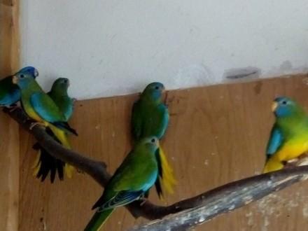 Papugi łąkówki wspaniałe
