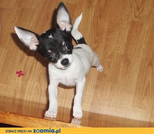 100% prawdziwy tiny teacup rozmiar chihuahua puppy