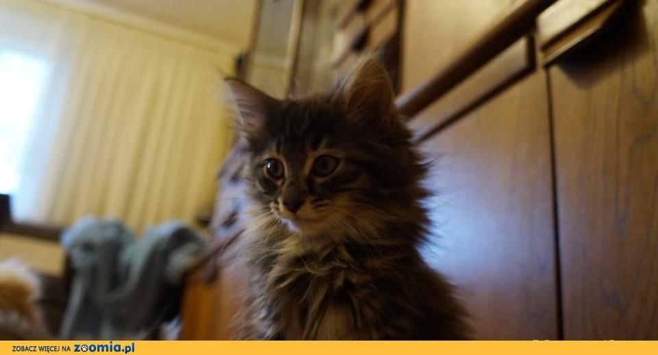 Piękna kotka norweska Ceres LeśnyRex*Pl szuka nowego domu