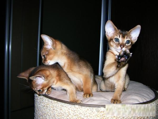Abisyńskie kocięta z hodowli Abylion