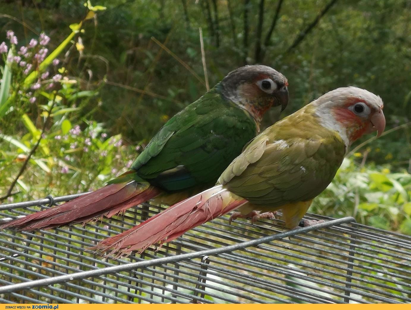 Papugi - Mnichy Nizinne - Ręcznie karmione!