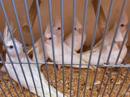 Sprzedam Nimfy albino