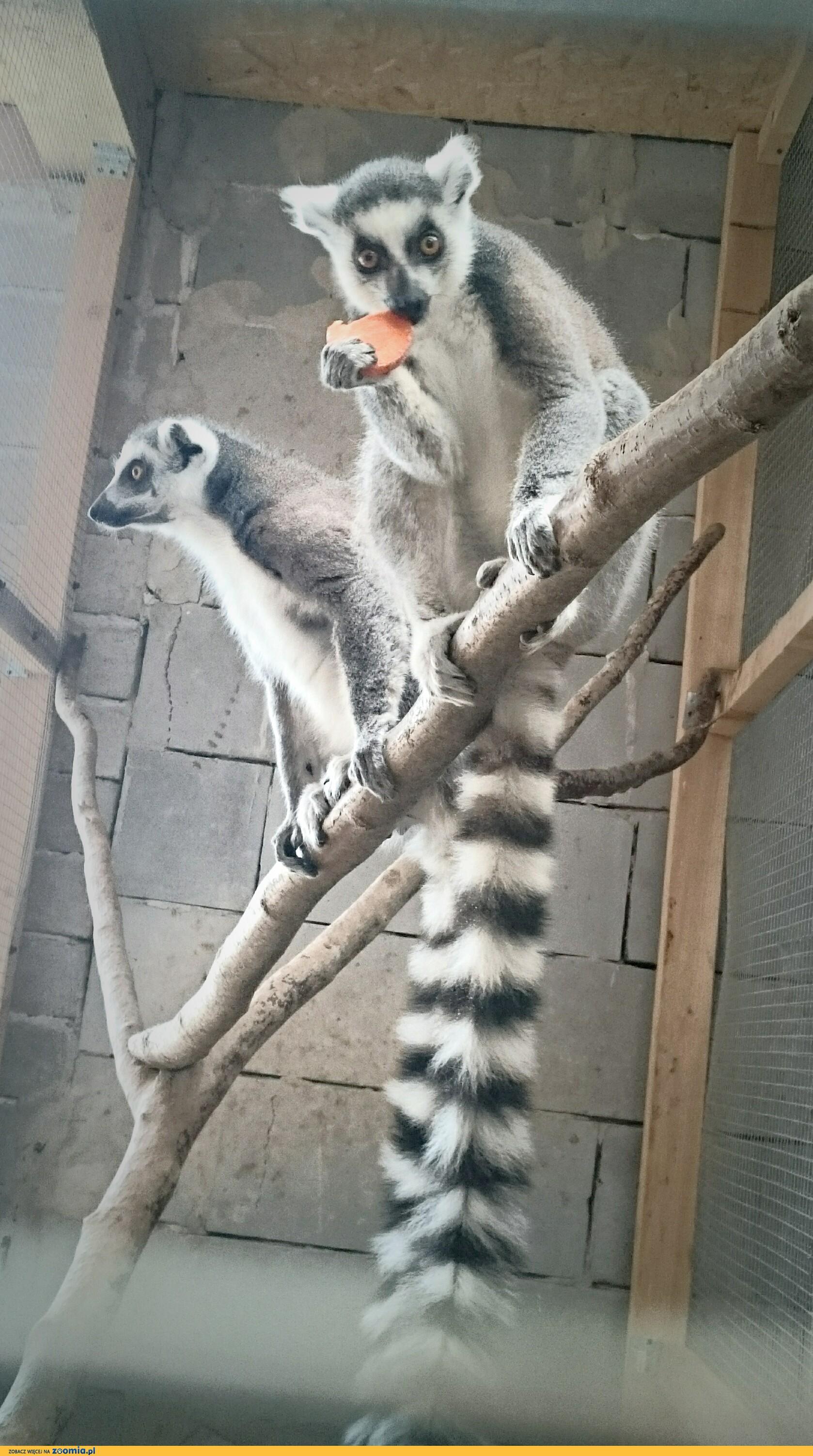 Lemury katta