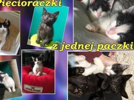 5-miesięczne kocie pięcioraczki szukają domów na całe życie