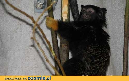 Małpki Tamaryna Złotoręka 6 msc z dokumkentami - Milicz
