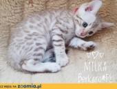 Kot bengalski - biały bengal,  wielkopolskie Konin