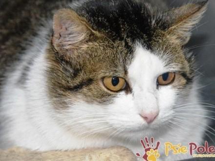 KUSY-piękny  biało-bury dorodny kotek szuka domu  adopcja
