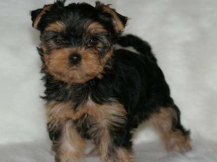 Sprzedam śliczne szczeniaczki rasy yorkshire terrier