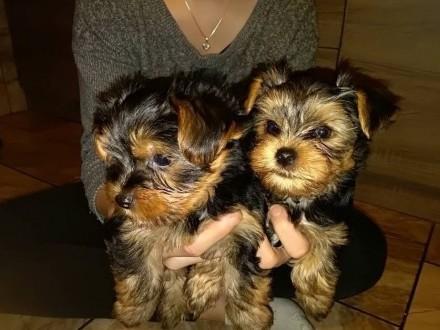 *** Yorkshire Terrier Śliczne Mini Yoreczki ***