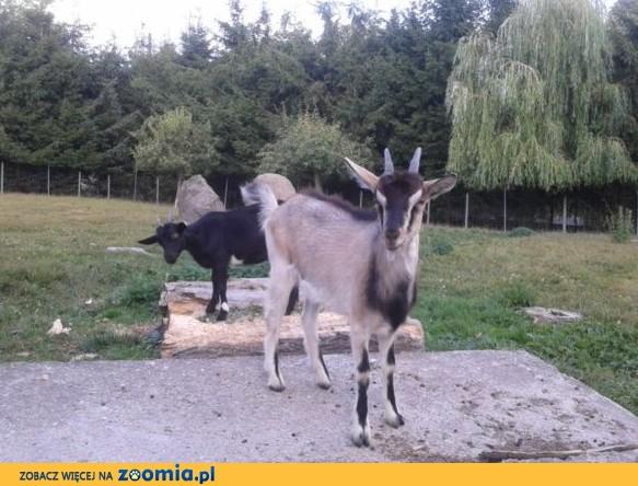 kozy-bardzo ładne-Okazja!