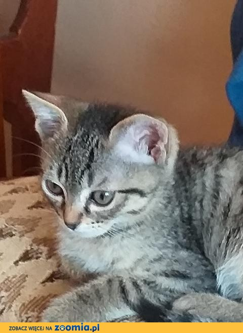Koteczka Amelka szuka domu