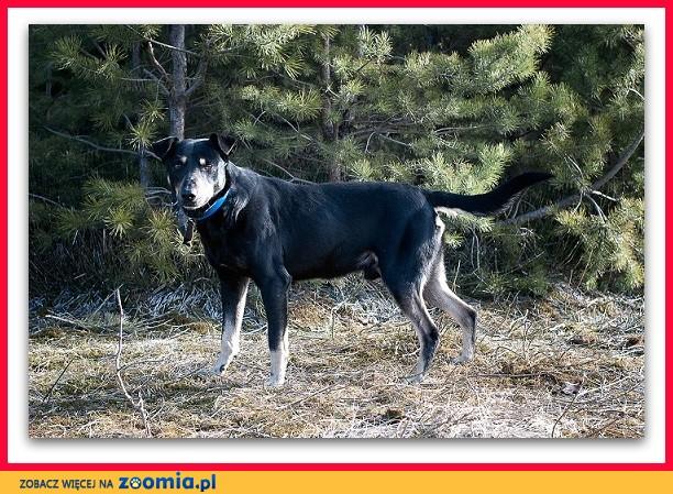 Średni 17 kg,łagodny,tulaśny,przesympatyczny,szczepiony psiak DOBEK_Adopcja_