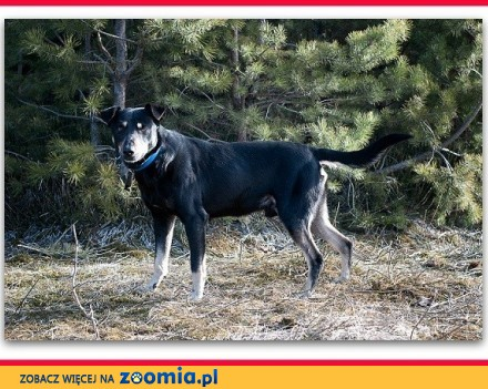 Średni 17 kg łagodny tulaśny przesympatyczny szczepiony psiak DOBEK_Adopcja_